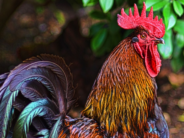 ROOSTERb